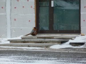 One poor, sad, lonely and no doubt cold pheasant waiting to be let into the warm at our neighbours, GTEC