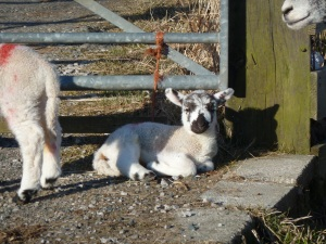 Baby lamblet sitting on the gravel, very nicely, by the gate to get on to the main road