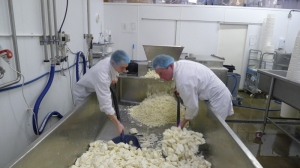 Shovelling what is about 270kgs of curd