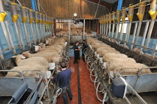 A filched picture of Simon Stott's milking parlour